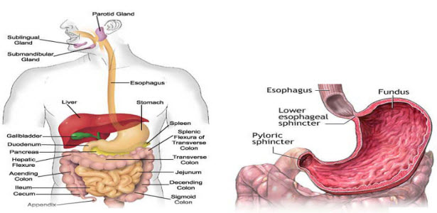 atherosclerosis risk factors | what is atherosclerosis, Human Body